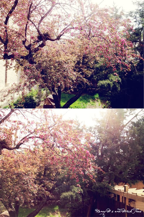 My Yard is Alive | Honey B's and Birch Trees