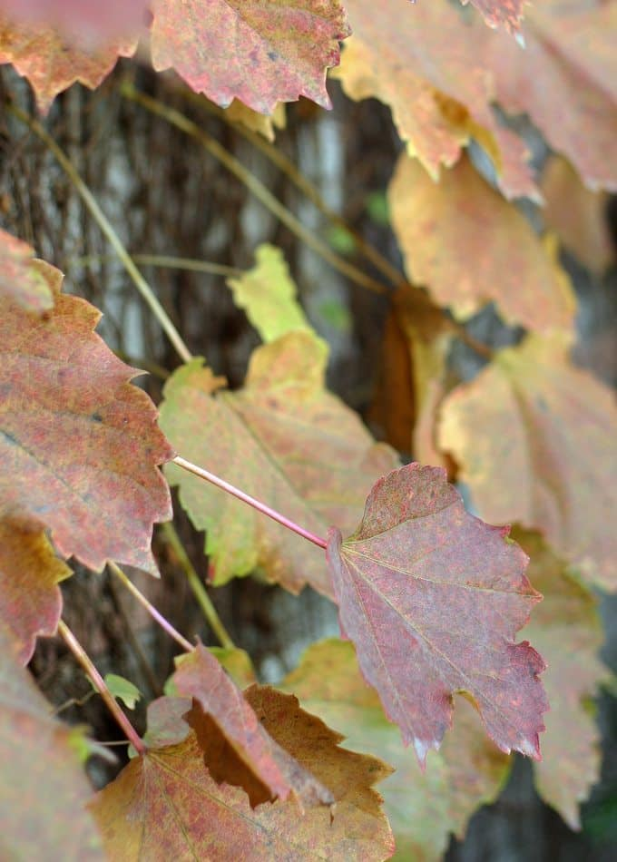 Fall Ivy Leaves