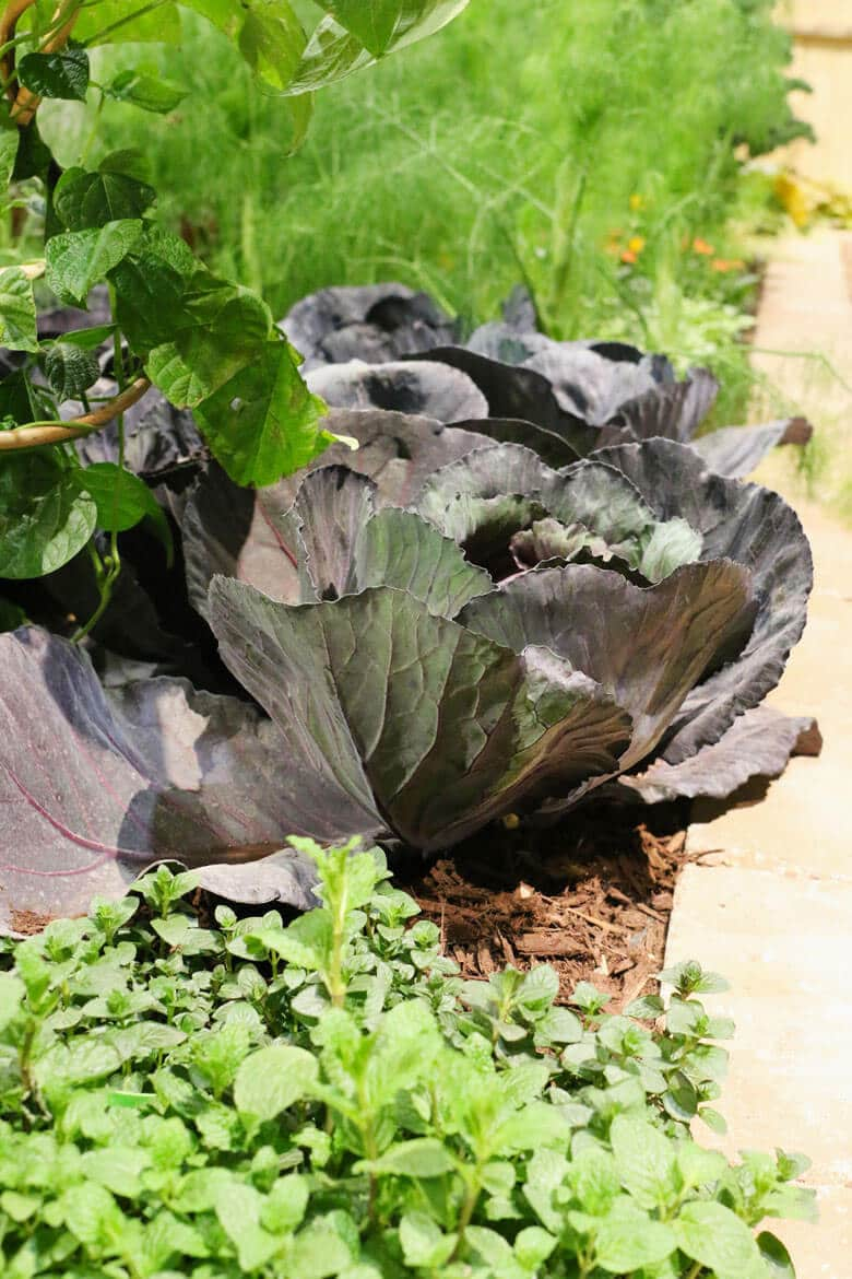 Purple cabbage in a raised bed with mint and fennel.